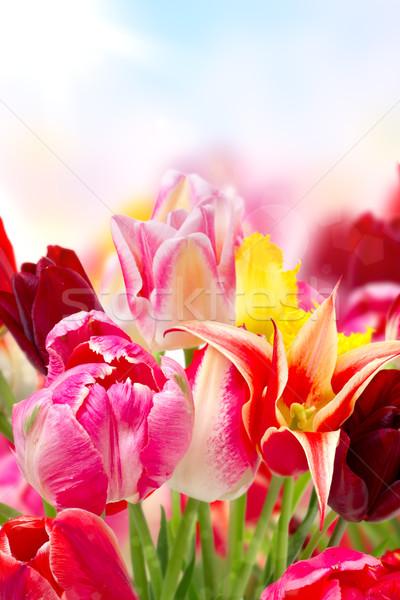 colorful tulips Stock photo © Photocrea