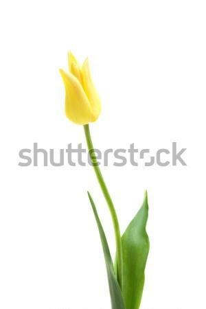 Lily flowered tulip West Point Stock photo © Photocrea