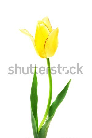 beautiful  yellow tulip isolated on white Stock photo © Photocrea