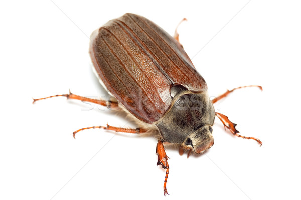 Chafer isolated on white Stock photo © Photocrea