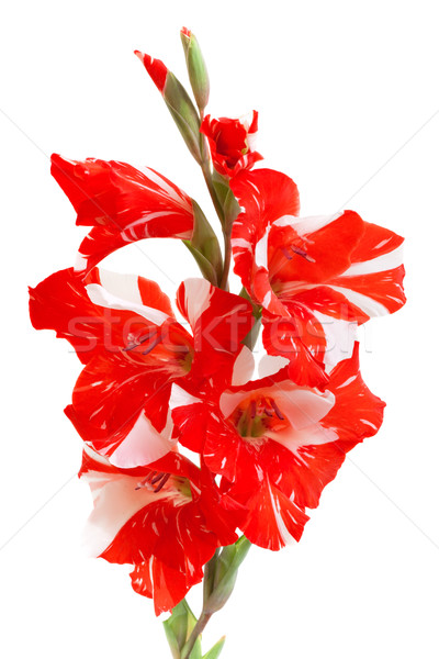 red gladiolus isolated on white Stock photo © Photocrea