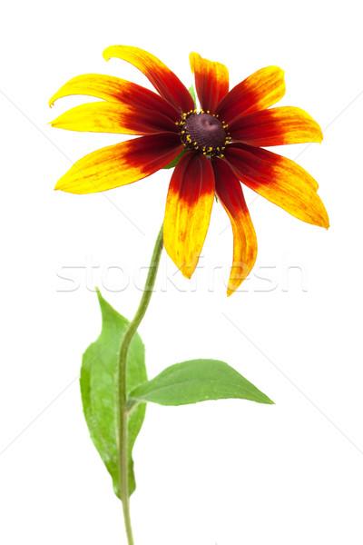 Rudbeckia hirta var angustifoliaBlack-eyed Susan Stock photo © Photocrea