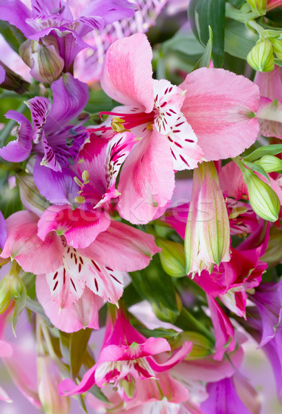flowers alstroemeria Stock photo © Photocrea