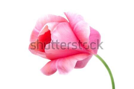pink tulip isolated on white Stock photo © Photocrea