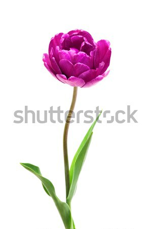 Lilac Perfection Double   Peony  Tulip Stock photo © Photocrea