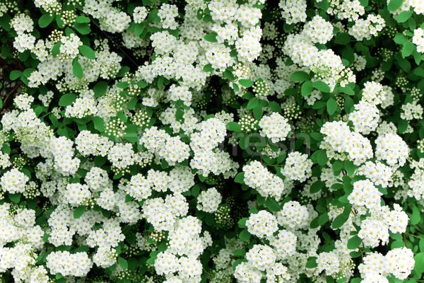 Background of little white flowers blooming bush Stock photo © Photocrea