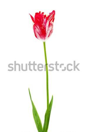 beautiful red  and white tulip isolated on white Stock photo © Photocrea