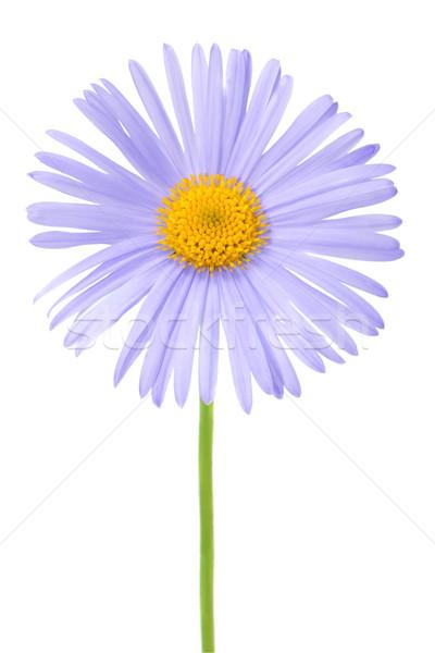 blue daisy Stock photo © Photocrea