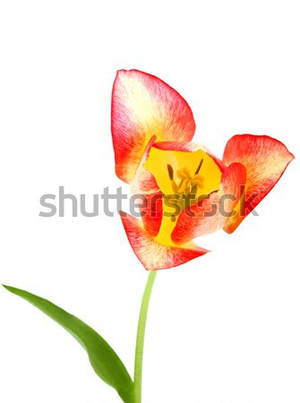 beautiful yellow red tulip isolated on white Stock photo © Photocrea
