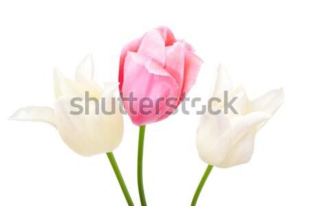 beautiful tulips isolated on white Stock photo © Photocrea