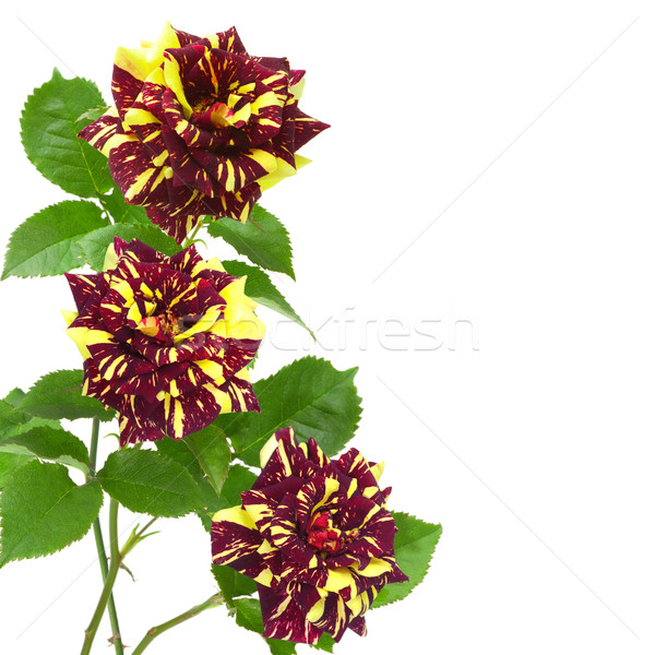 unusual yellow and purple roses Stock photo © Photocrea