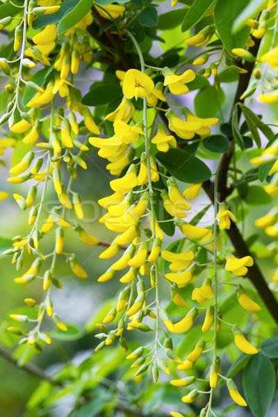 Golden Shower Tree, Purging Cassia, Golden Chain Tree, Indian La Stock photo © Photocrea