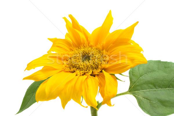 decorative sunflower isolated on a white background Stock photo © Photocrea