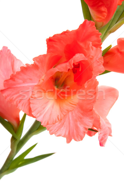 pink gladiolus isolated on white Stock photo © Photocrea