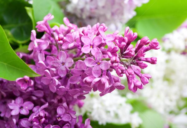 branch of lilac closeup Stock photo © Photocrea