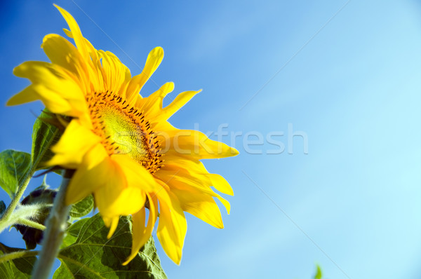 Sunflower in flowerpot Stock photo © photocreo