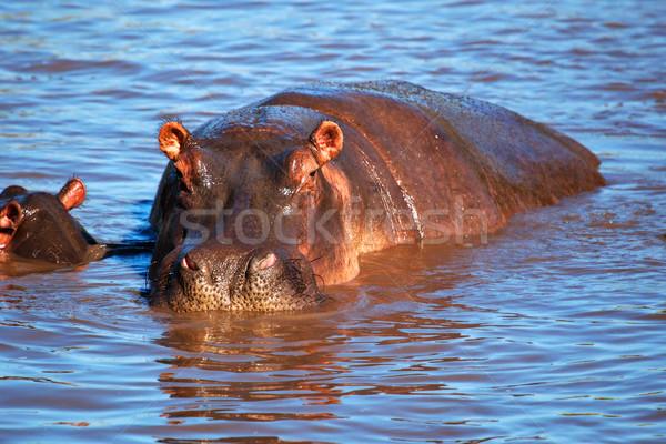 Suaygırı suaygırı nehir serengeti Tanzanya Afrika Stok fotoğraf © photocreo