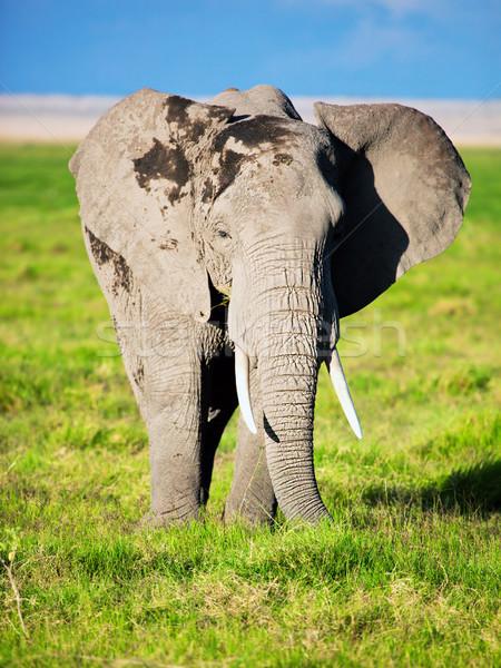 слон саванна Safari Кения Африка портрет Сток-фото © photocreo