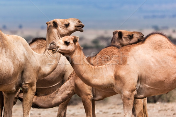 Group of camels in Africa Stock photo © photocreo