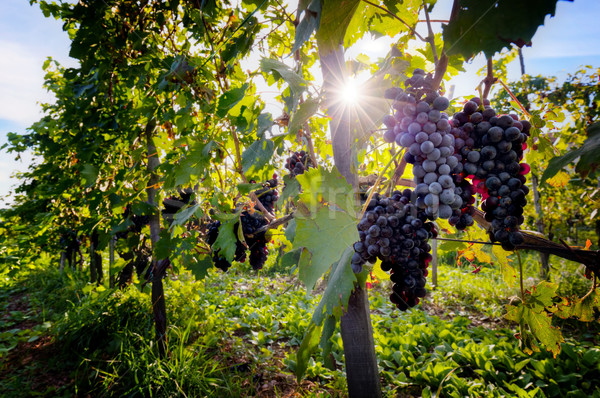 Ripe wine grapes on vines in Tuscany, Italy.  Stock photo © photocreo