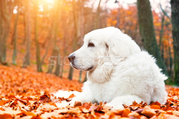 Cute white puppy dog lying in leaves in autumn, fall forest. Stock photo © photocreo