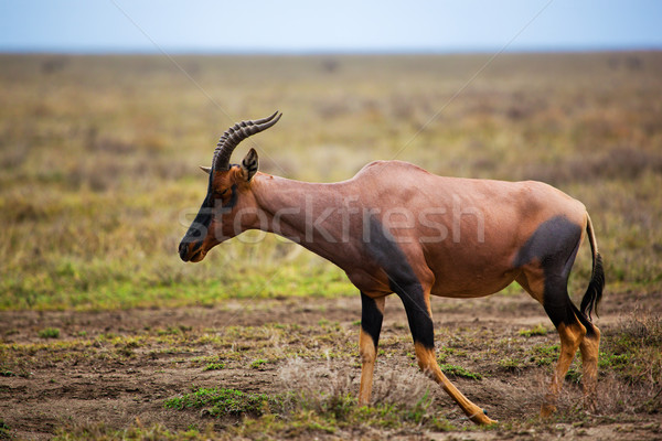 Topi on savanna in Serengeti, Africa Stock photo © photocreo