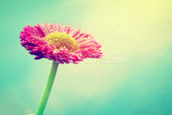 Fresh daisy flower in sun flare. Pastel colors, vintage Stock photo © photocreo