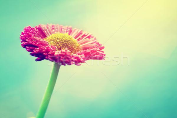 świeże Daisy kwiat słońce migotać pastel Zdjęcia stock © photocreo
