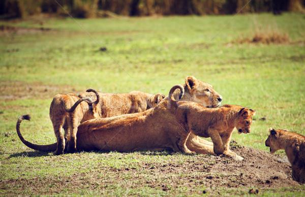 小 ライオン 母親 タンザニア アフリカ サバンナ ストックフォト © photocreo