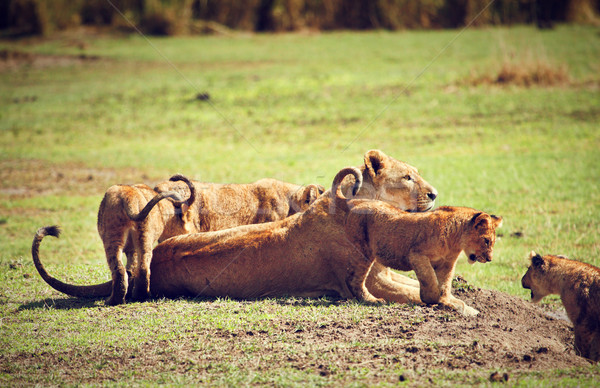небольшой лев матери Танзания Африка саванна Сток-фото © photocreo