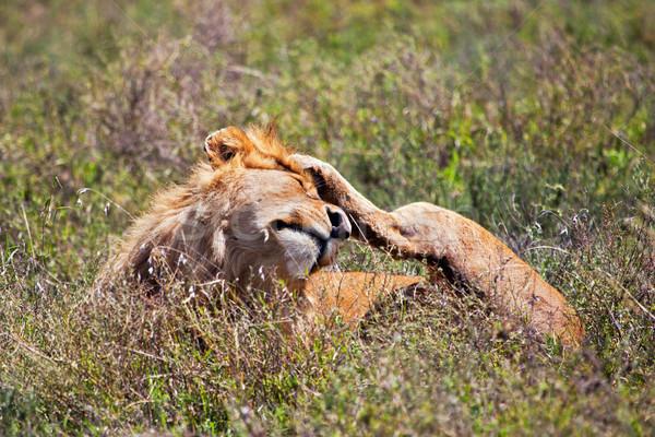 男性 ライオン サバンナ サファリ セレンゲティ ストックフォト © photocreo