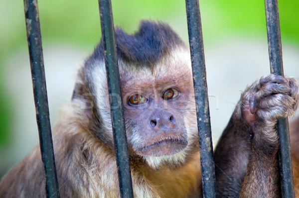 Maymun tür arkasında çubuklar esaret sevmek Stok fotoğraf © photocreo