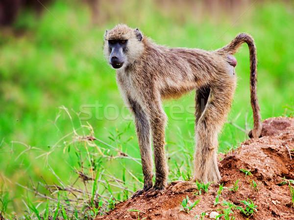 Stock fotó: Pávián · majom · afrikai · bokor · Kenya · szafari
