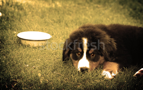 Vriend portret puppy berner sennenhond hond achtergrond Stockfoto © photocreo