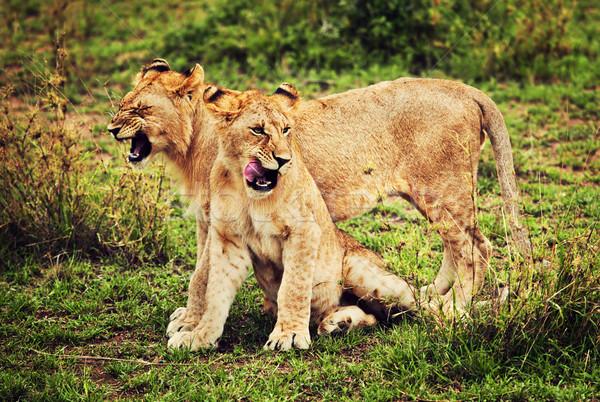 Kicsi oroszlán játszik Tanzánia Afrika szavanna Stock fotó © photocreo