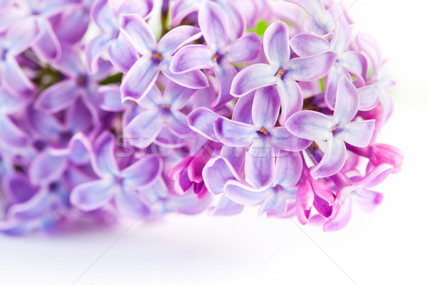 Purple spring lilac flowers blooming. On white Stock photo © photocreo