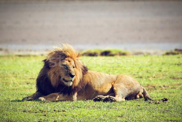 ビッグ 男性 ライオン サバンナ アフリカ ストックフォト © photocreo