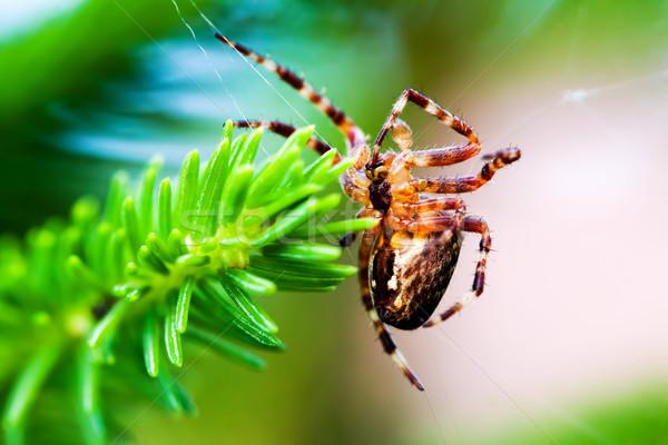 Europejski ogród pająk krzyż gatunek Zdjęcia stock © photocreo