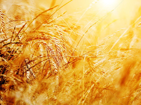 Sunny wheat field close-up. Agriculture background Stock photo © photocreo