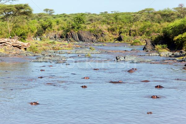 гиппопотам бегемот реке Серенгети Танзания Африка Сток-фото © photocreo