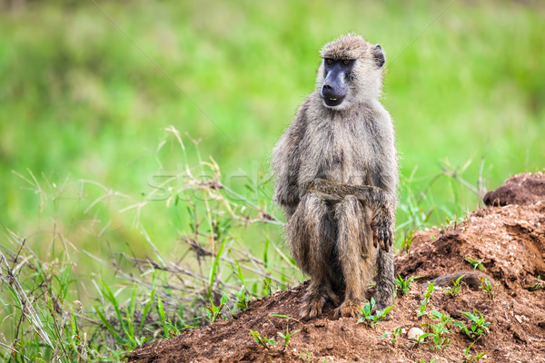 Babouin singe africaine Bush Safari ouest Photo stock © photocreo