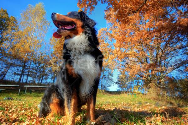 Feliz boyero de berna aire libre sesión hierba soleado Foto stock © photocreo