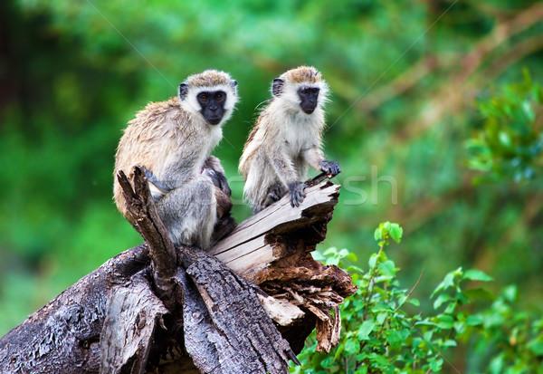 Singe lac Tanzanie Afrique Bush parc Photo stock © photocreo