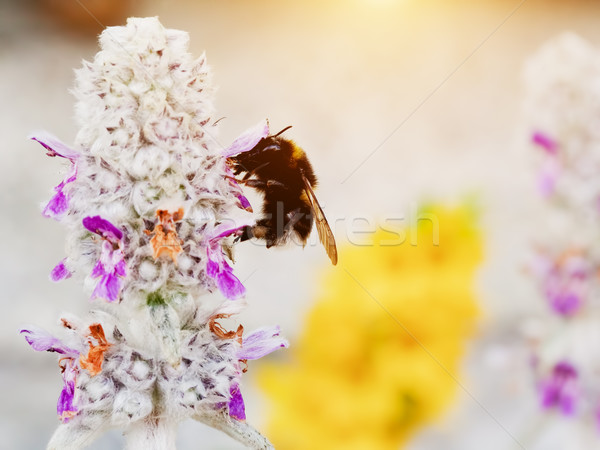 Bumblebee or bumble bee loading pollen on the flower Stock photo © photocreo