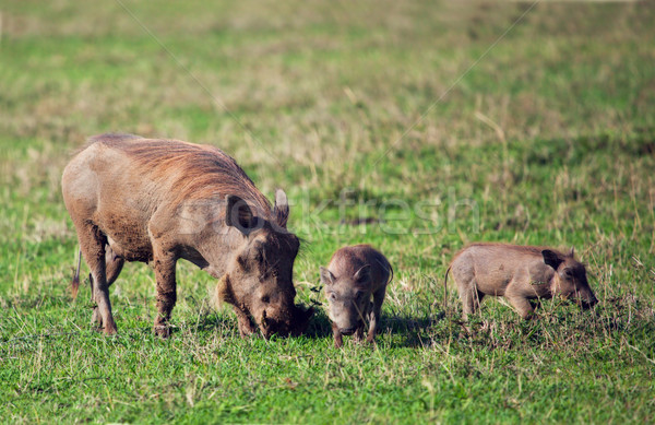 The warthog family on savannah in the Ngorongoro crater, Tanzania, Africa. Stock photo © photocreo