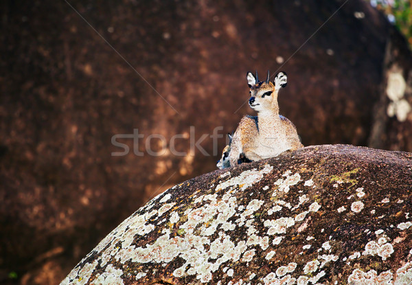 Klipspringer on rocks, Serengeti, Tanzania in Africa Stock photo © photocreo