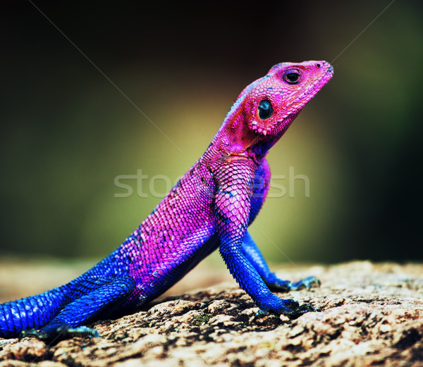 The Mwanza Flat-headed Agama. Serengeti, Tanzania Stock photo © photocreo