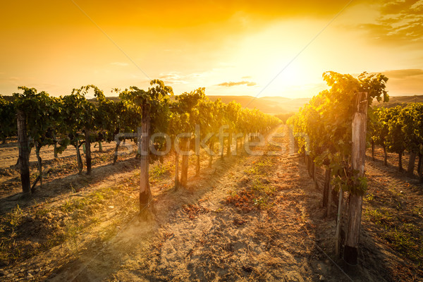 Vineyard in Tuscany, Italy. Wine farm at sunset. Vintage Stock photo © photocreo