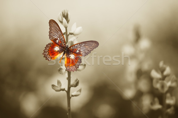 A red butterfly on the moody field Stock photo © photocreo