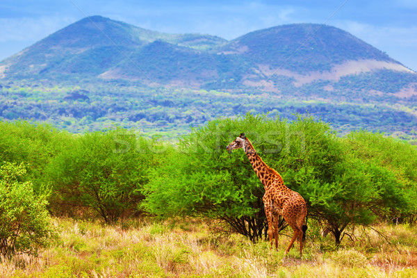 Giraffe on savanna. Safari in Tsavo West, Kenya, Africa Stock photo © photocreo